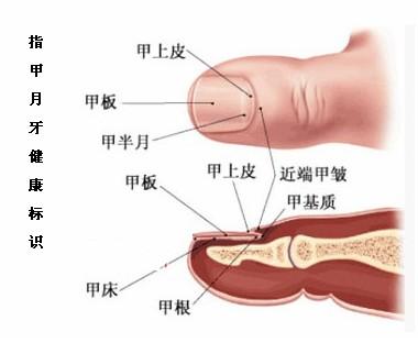 """手指甲""""月牙""""反映健康状况"""